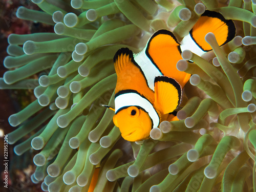 Fotografie, Tablou  Close up macro of a clownfish in its host anemone