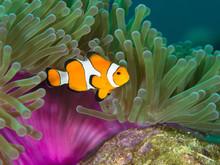 Nemo Clown Fish By The Purple ...