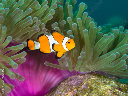 Fotografie, Obraz  Nemo clown fish by the purple mantle of a anemone