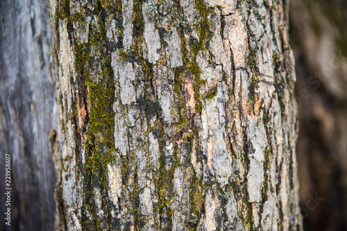 Garden Poster Birch Grove Green, Brown, Grey and Black Tree Bark with Blurred Background.