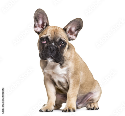 Deurstickers Franse bulldog French Bulldog, 5 months old, sitting against white background
