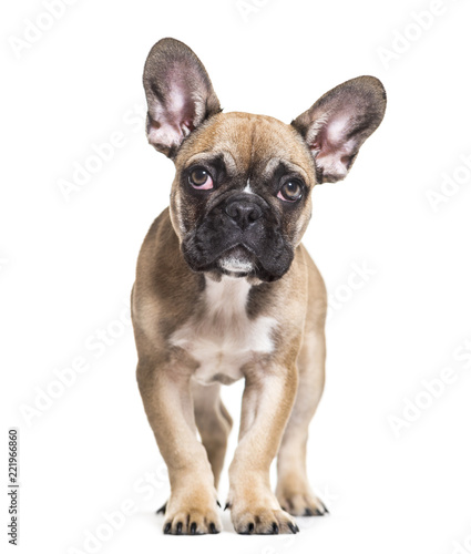 Foto op Plexiglas Franse bulldog French Bulldog, 5 months old, standing against white background