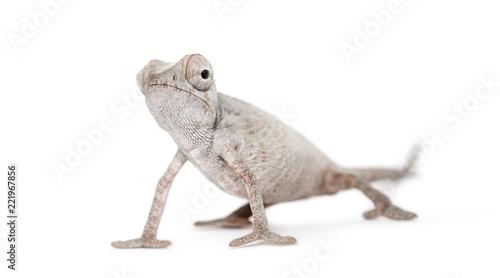Young veiled chameleon, Chamaeleo calyptratus, against white bac
