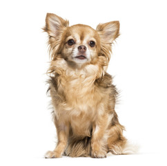 Fototapeta Chihuahua dog, 7 years old, sitting against white background