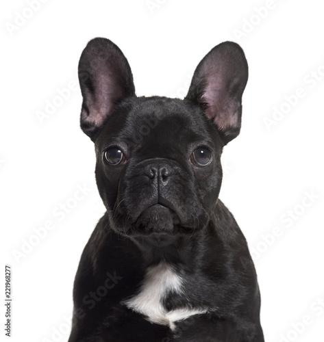 Tuinposter Franse bulldog French Bulldog, 4 months old, against white background