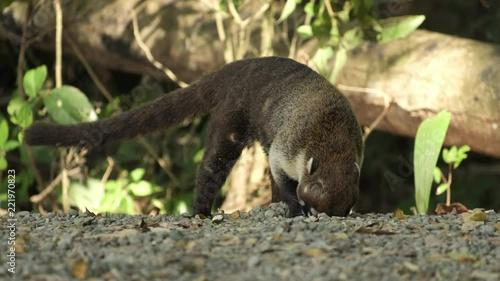 Valokuva  Coati (coatimundi) digs a hole and eats something