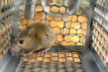 Mice Trapped In A Trap Cage. Inside Of Rat Traps.
