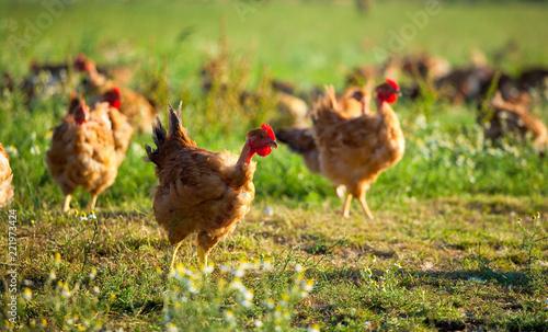 Poulet fermier élevé en plein air