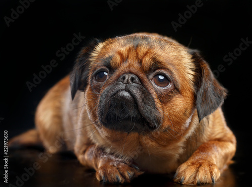 Fotografie, Obraz  Belgian Griffon, Brussels Griffon dog on Isolated Black Background in studio