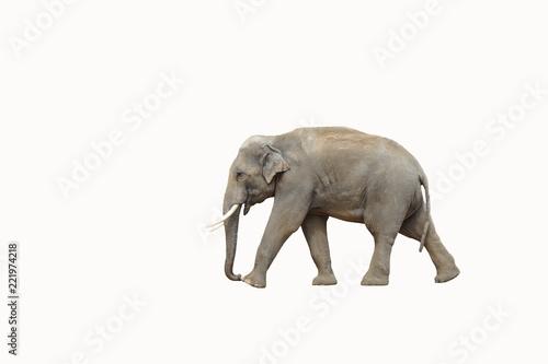 Canvas Prints Elephant Elefant isoliert laufend