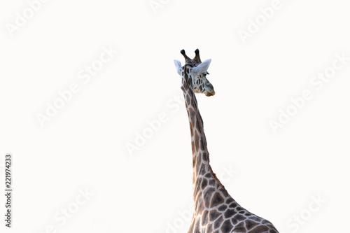 freigestellte Giraffe bzw Giraffenhals