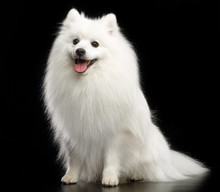 Japanese Spitz Dog On Isolated Black Background In Studio
