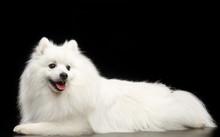Japanese Spitz Dog On Isolated...