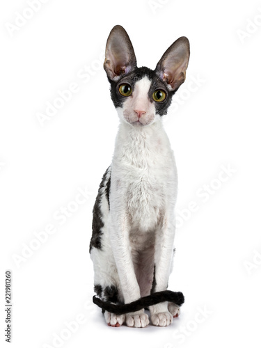 Amazing black bicolor Cornish Rex cat kitten girl sitting facing front with tail Canvas Print