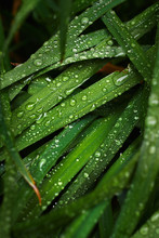 Closeup Shot Of Drops Of Clear Water Covering Green Blades Of Fresh Grass In Garden