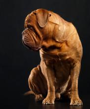 Bordeaux Dog, The Dog On Isolated Black Background In Studio