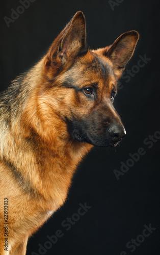 German Shepherd Dog  Isolated  on Black Background in studio © TrapezaStudio