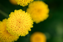 Closed Up Of Small Yellow Chry...