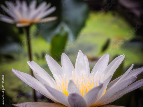 Fototapety, obrazy: White Lotus flower in the pond. Lotus has many styles and have many different colors.