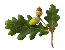 Acorns Isolated On White Backg...