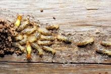 Closeup Worker And Soldier Termites (Globitermes Sulphureus) On Wood Structure