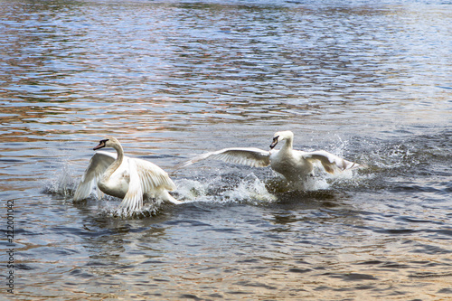 Photo  Swans swim and play in a water