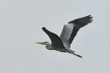 Grey Heron (Ardea Cinerea)  Real Wildlife, No ZOO
