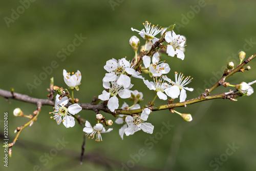 Blooming Cherry Plum branch with white flowers, (Prunus cerasifera)