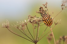 Striped Beetle Climbs On Dry G...