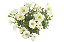 White Blooming Petunia Flowers...