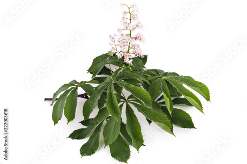 Flowering branch of horse-chestnut tree (Aesculus hippocastanum) isolated on white background. Conker tree, white chestnut flowers and leaf
