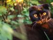 Black Scottish cat muzzle