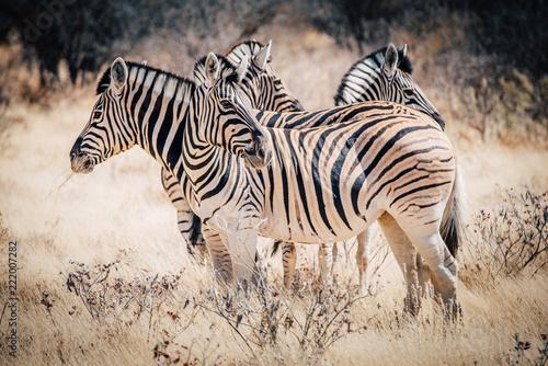 Tuinposter Zebra Zebras im Etosha National Park, Namibia