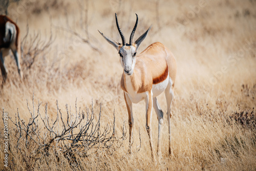 Einzelner Springbock, Etosha National Park, Namibia