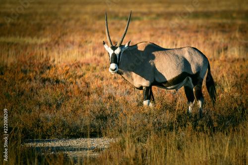 Photo Stands Antelope Einzelne Oryxantilope in der Abendsonne, Etosha National Park, Namibi