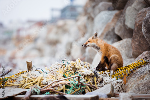 Photo  Resilient Fox II