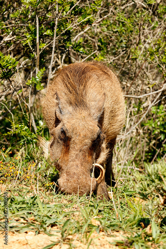 Photo  Warthog scratching in the ground