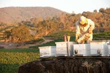 Beekeeper Working With Hives I...