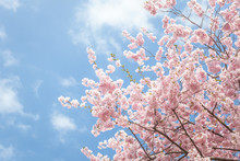 Pink Sakura Blossom Against Blue Sky