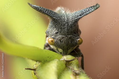 Photo  Strange treehopper behind the green leaf
