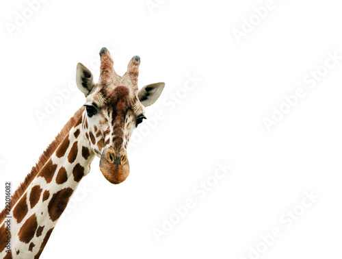Giraffe looking into the camera, close up