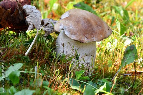 Fotografie, Obraz  Freschi funghi porcini, cresciuti nel prato