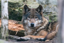 Close-up Portrait Of Gray Wolf...