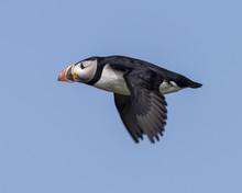 Atlantic Puffin In Flight Off Machias Seal Island, Canada