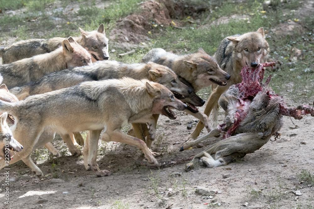 Wolfsrudel mit Beute