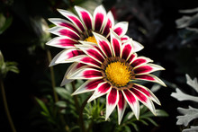 Gazania Close-up Red With Whit...