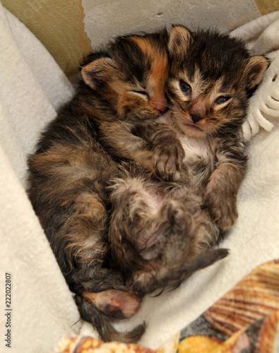 Fototapety, obrazy: two newborn kittens are lying
