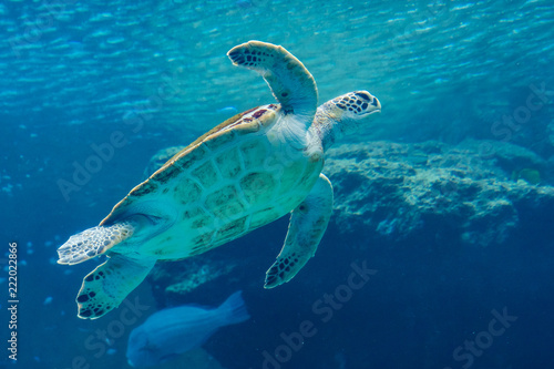 Sea turtle swiming in Aquarium