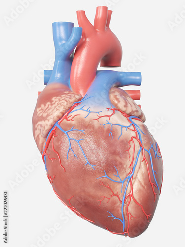 Fotografie, Obraz  3d rendered medically accurate illustration of the human heart anatomy