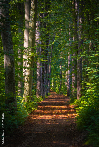 Tuinposter Weg in bos Sun beam on a pathway in a forest. Green leaves and tree trunks.